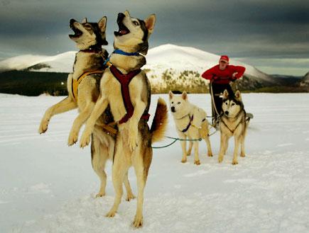 כלבים ומזחלת שלג (צילום: Reuters ,Reuters)