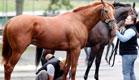 סוס מקבל טיפול ממטפליו (צילום: אור גץ, רויטרס3)