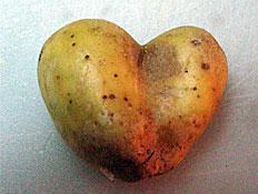 תפוח אדמה לב (צילום: mako ,mako)