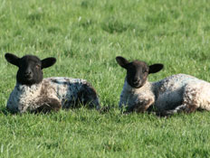 2 כבשים יושבות על דשא