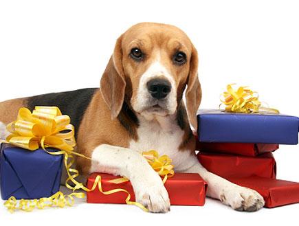 כלב חום לבן יושב על ערימת מתנות(istockphoto)
