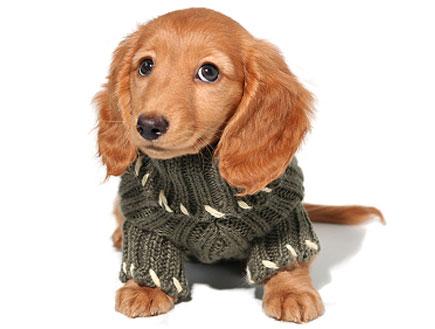 כלב חום קטן עם סוודר ירוק (צילום: istockphoto ,istockphoto)