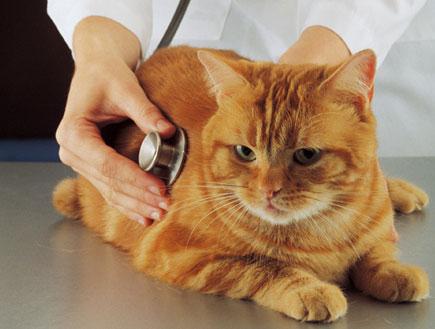 וטרינר בודק חתול (צילום: jupiter images ,jupiter images)