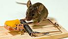 עכבר על מלכודת עכברים (צילום: gwmullis, Istock)