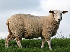 כבשה באחו