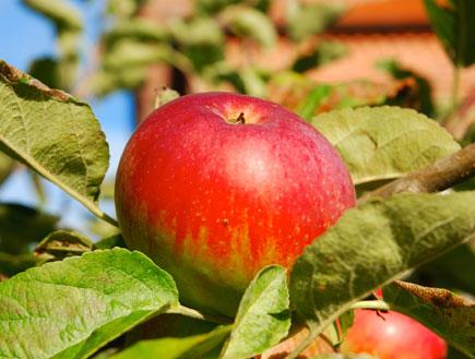 תפוח אדום (צילום: SXC ,SXC)