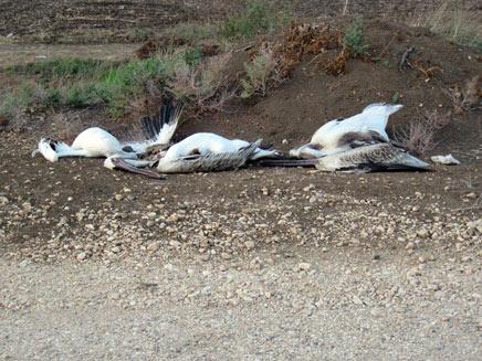 שקנאים ירויים בעמק החולה(רשות הטבע והגנים)