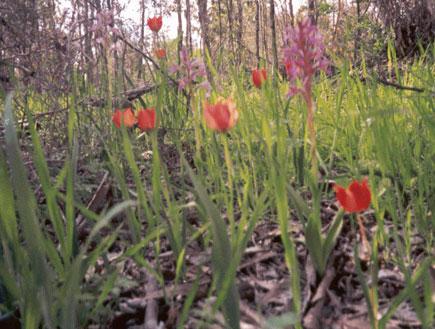 טיול בשרון: פריחות ביער אילנות (צילום: החברה להגנת הטבע)