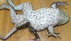 צפרדע עם שבע רגליים (צילום: metro)