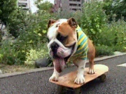 כלב בולדוג שנוסע על סקטבורד (צילום: חדשות 2)