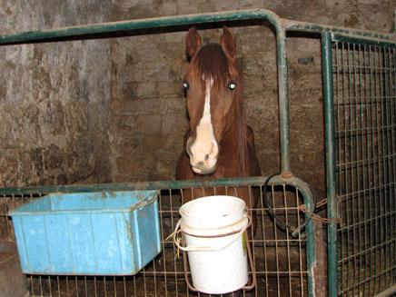 11 סוסים חולצו מהתעללות בעכו העתיקה (צילום: איציק סמה וצביה מילדנברג, משרד החקלאות)