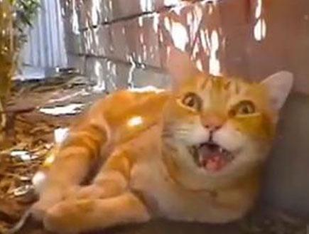 חתול(מקולנד)