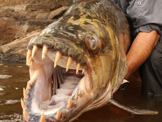 בוליביה: דג פיראנה טרף נער בעודו חי 132628