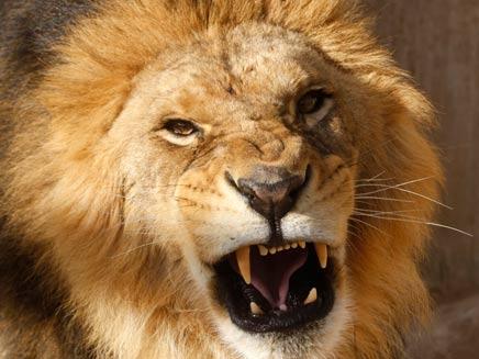זהירות, אריות (צילום: רויטרס)