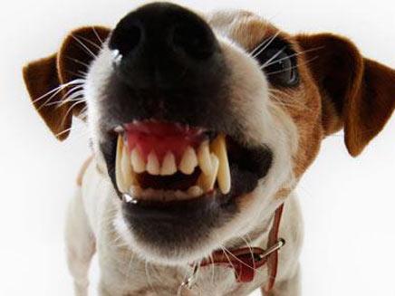 """הכלב שהביס את פומה במשקל 80 ק""""ג (צילום: telegraph)"""