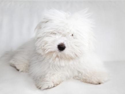 כלב מסוג קוטון דה טולייר (צילום: istockphoto ,istockphoto)