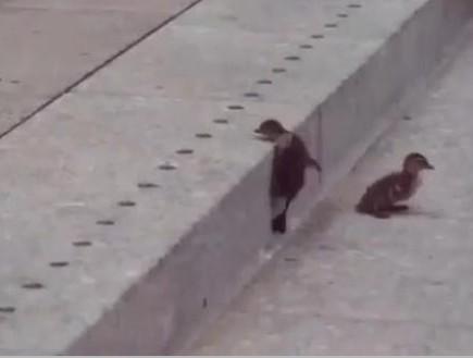 ברווזונים מטפסים במדרגות (וידאו WMV: צילום מסך)