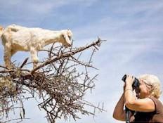 מסע צילום במרוקו -עז על עץ האראגן-טיולי צילום