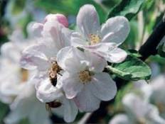 דבורים על הפרח - געש של פריחה