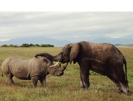 ספארי בדרום אפריקה: פיל וקרנף (צילום: אודליה כהן)