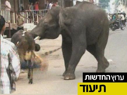אחד הפילים המשתוללים (צילום: חדשות 2)