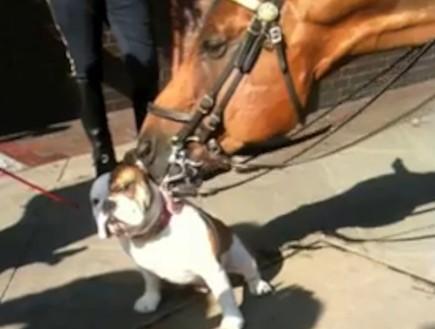 סוס מלקק בולדוג (צילום: צילום מסך)
