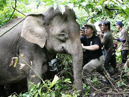 הפיל נבהל - ונגח. אילוסטרציה (צילום: AP)