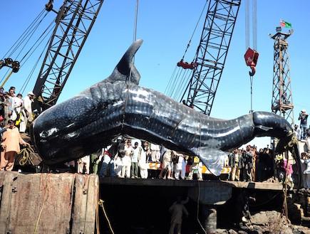 כריש לווייתן (צילום: אימג'בנק/GettyImages ,getty images)