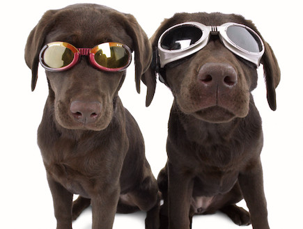 משקפי שמש לכלבים (צילום: doggles.com)