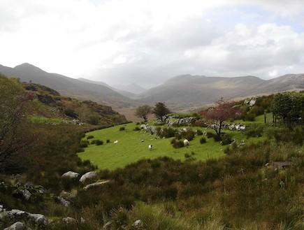 כבשים באירלנד