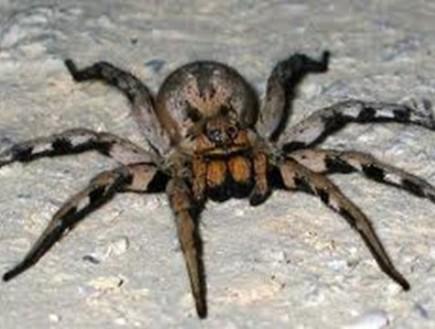 עכביש נודד