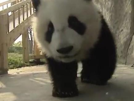 דובי פנדה משחקים (תמונת AVI: יוטיוב  ,צילום מסך youtube)