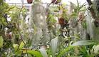 צמחי אוויר, משתלת אפיפיט (צילום: הראל סרוסי)