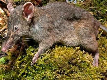 העכברוש החדש, לא יכול לנשוך (צילום: סקיי ניוז)