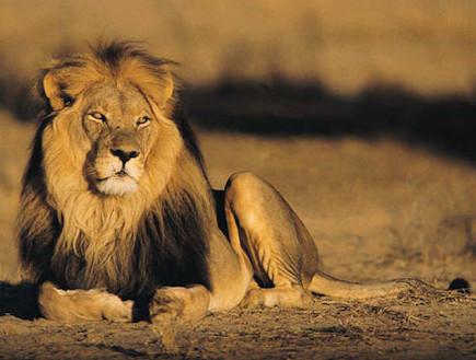 אריה (צילום: אימג'בנק / Thinkstock)
