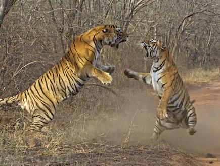 טיגריסים נלחמים (צילום: huffingtonpost.com)