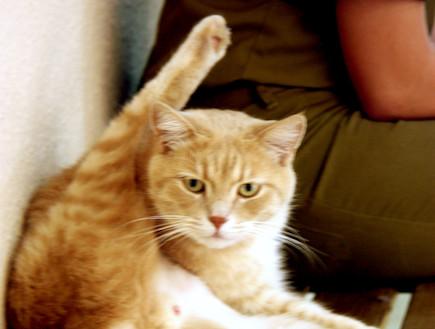 """חתול סקייהוק (צילום: אלדד אלמוזנינו ,פז""""ם)"""