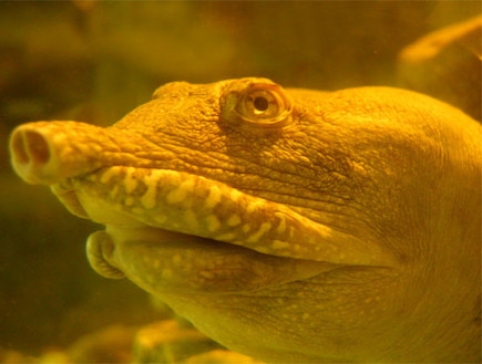 פלודיסקוס סיננסיס  (צילום: discovermagazine.com)