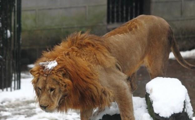 ילדים זורקים כדורי שלג על אריות