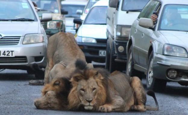 אריות בכביש
