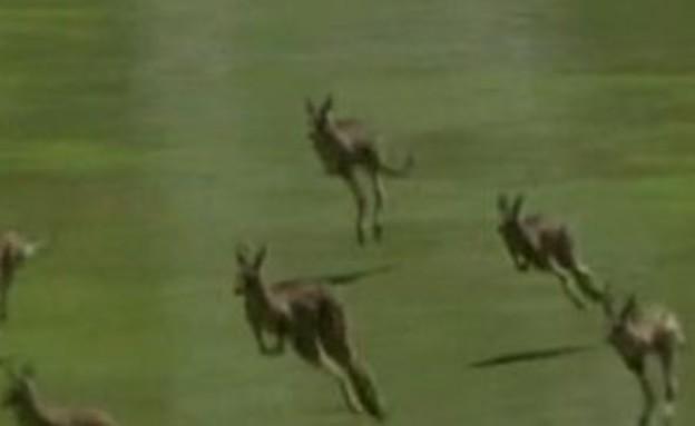 קנגורו מתפרצים למשחק גולף