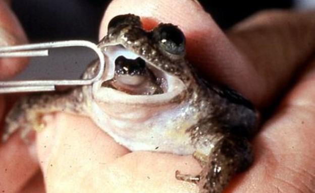 הצפרדע שמולידה מהפה (צילום: popsci.com)