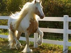 סוס כוסון