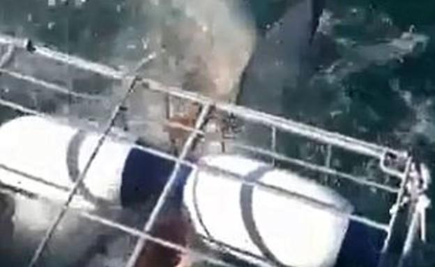 כריש לבן פרץ לכלוב הצלילה (תמונת AVI: יוטיוב  ,צילום מסך youtube)
