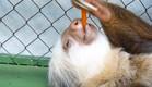 עצלן אוכל גזר (צילום: youtube.com)