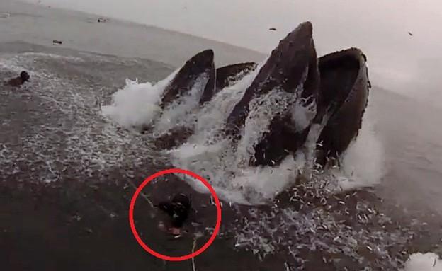 לוויתן גדול סנפיר מלחיץ צוללן (וידאו WMV: יוטיוב  ,צילום מסך youtube)