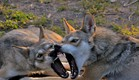 יללת הזאבים, פיות (צילום: יחסי ציבור)