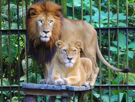 אריות בגן החיות בסן חוזה