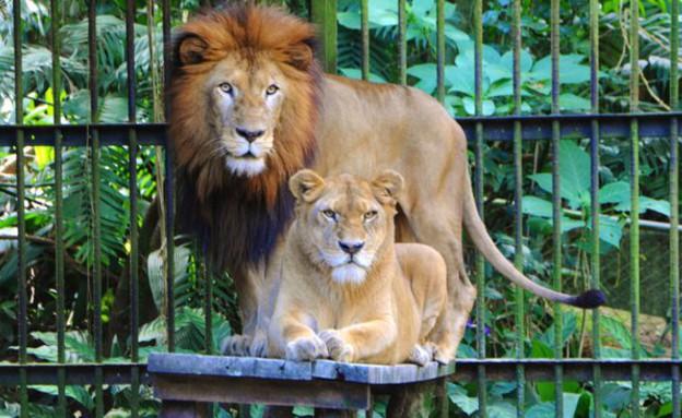 אריות בגן החיות בסן חוזה (צילום: הפייסבוק של גן החיות)