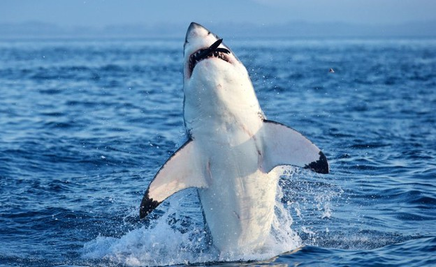 כריש צד כלב ים (צילום: דן קליסטר / dailymail.co.uk)